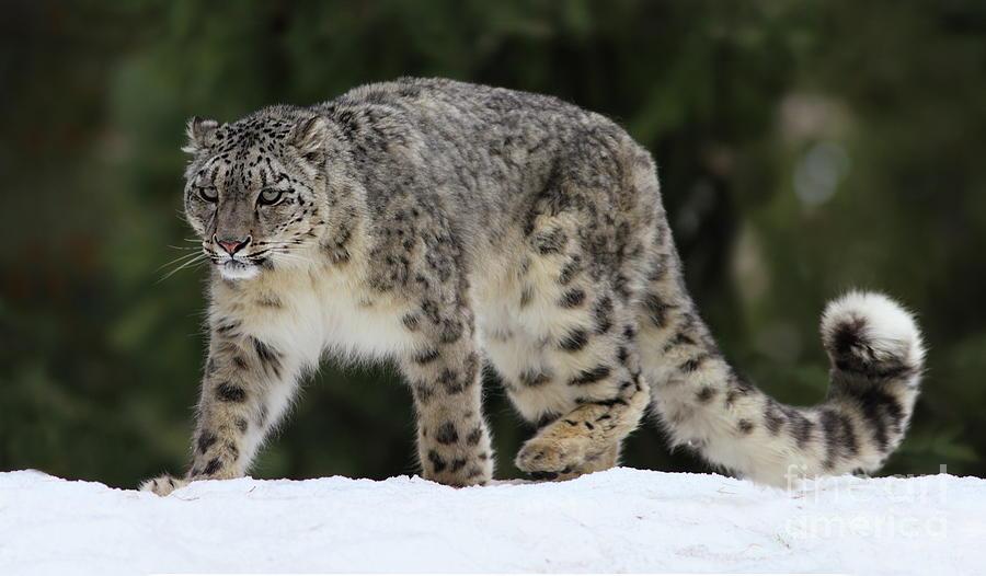 Snow Leopard Photograph by Zahoor Salmi