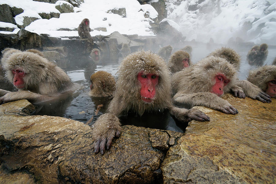 Snow Monkeys Soaking by Hiroya Minakuchi