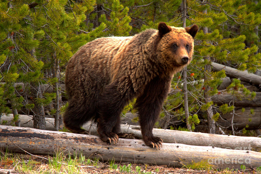 Snow - The Yellowstone Grizzly Sow by Adam Jewell