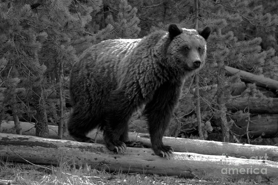 Snow - The Yellowstone Grizzly Sow Black And White by Adam Jewell