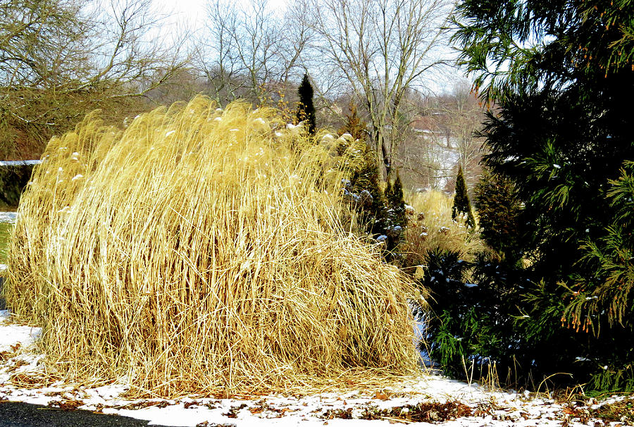 Snow Tipped Tall Ornamental Grasses Photograph By Linda Stern