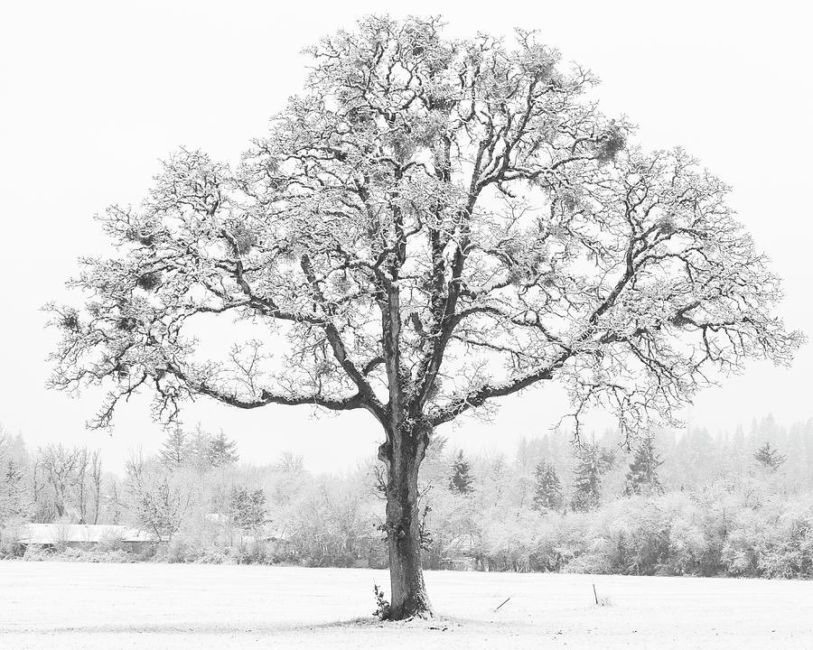 Snow Tree by Catherine Avilez