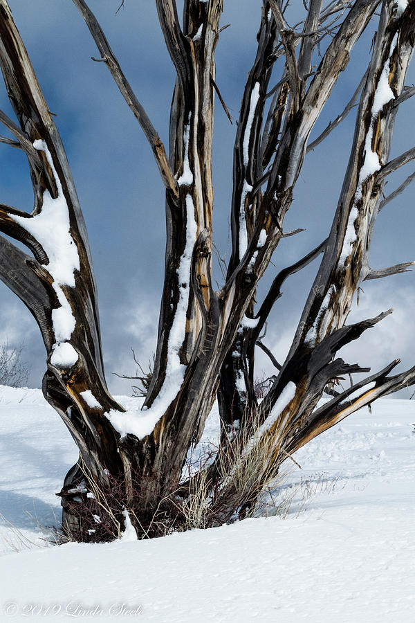 Snow Tree by Linda Steele