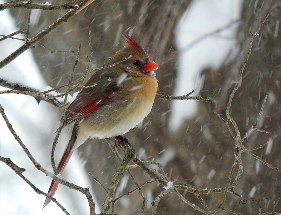 Snowbird by Wild Thing