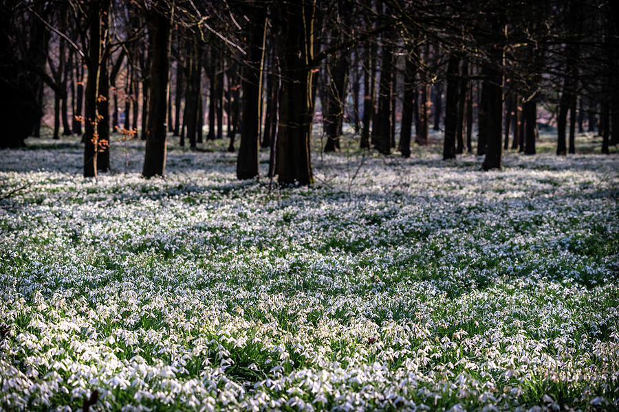 Snowdrop Season by Framing Places
