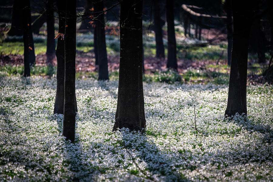 Snowdrops and Shadows by Framing Places