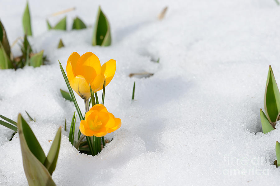 Snowdrops Crocus Flowers In The Snow Photograph By Er 09
