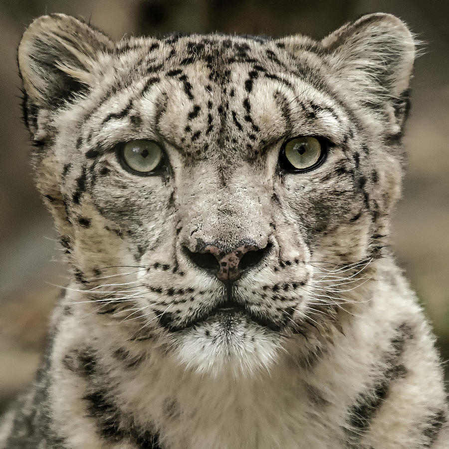 SnowLeopardFacial by Chris Boulton