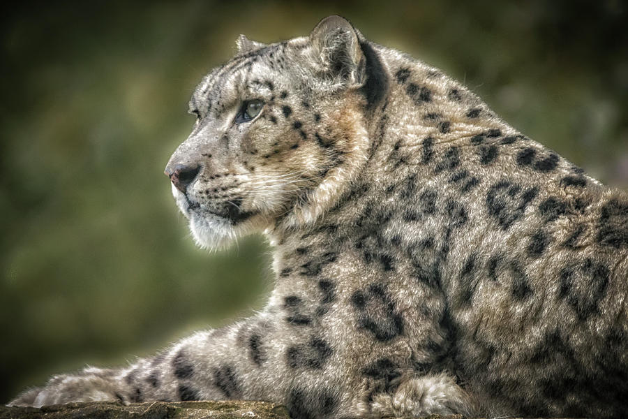 SnowLeopardPortrait by Chris Boulton