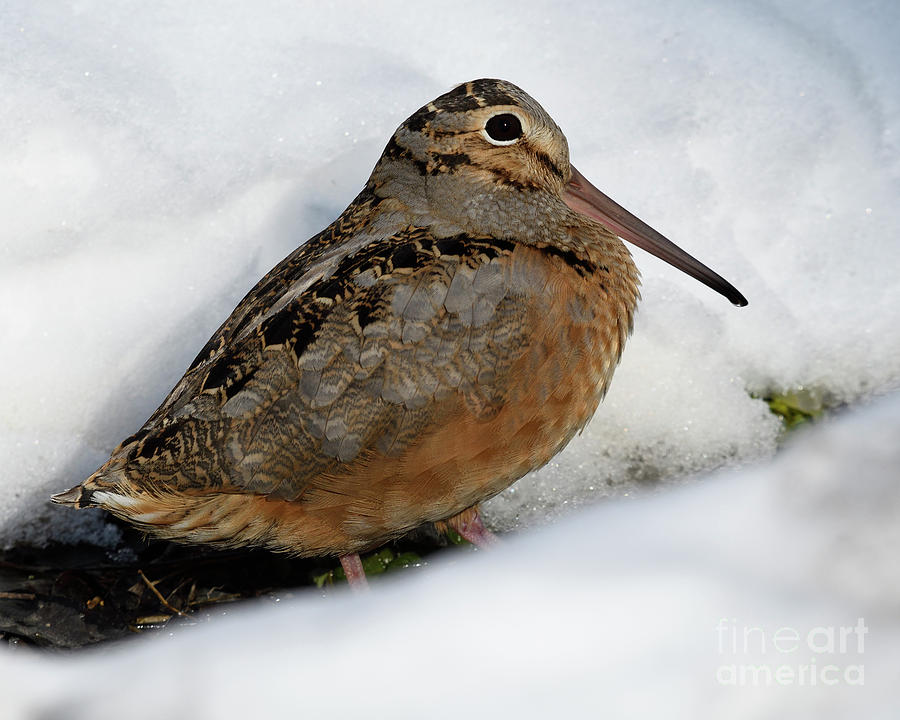 Snowscape American Woodcock by Timothy Flanigan