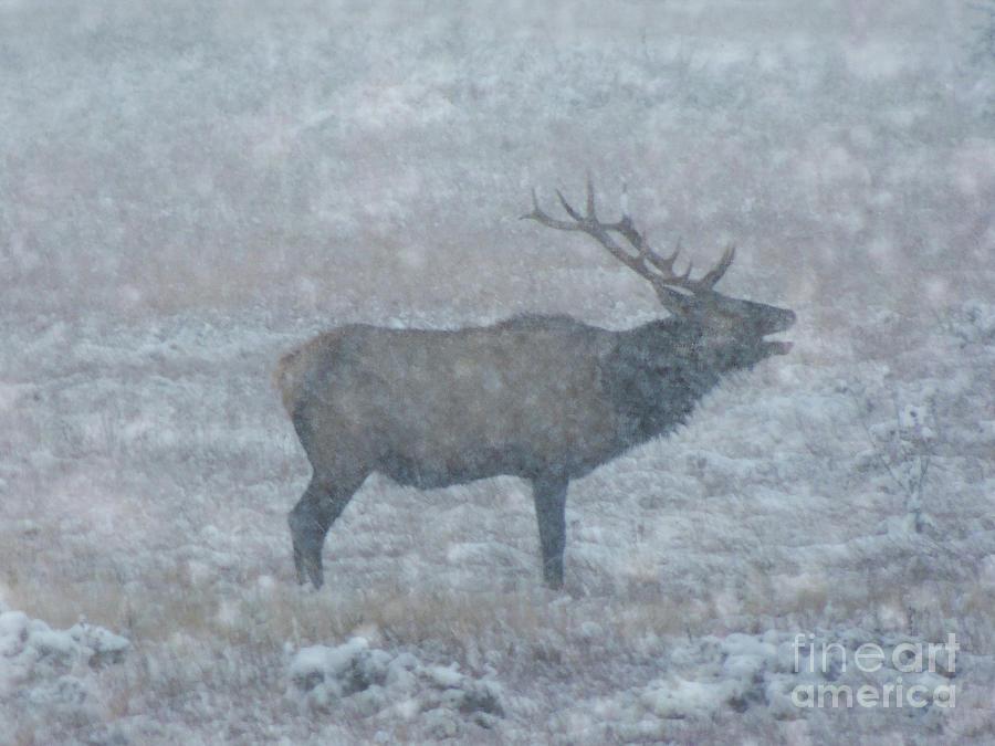 Snowstorm Bugle Photograph