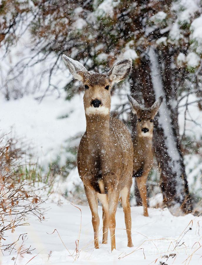 Snowstorm Deer Partners Photograph