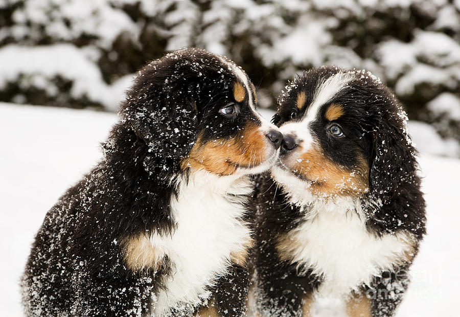 Pets Photograph - Snowy Bernese Mountain Dog Puppets by Einar Muoni