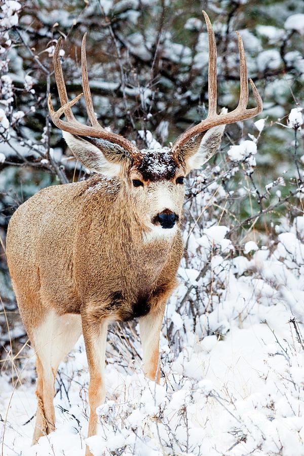 Snowy Buck Mule Deer Portrait Photograph