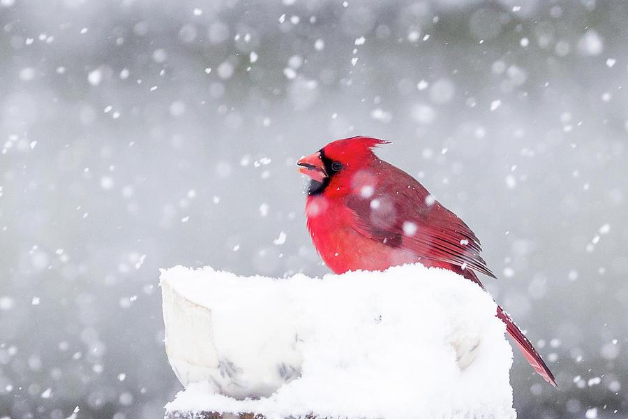 Snowy Cardinal by Lori Coleman