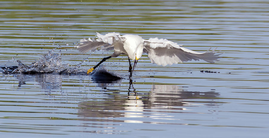 Snowy Egret 0611-063019 by Tam Ryan