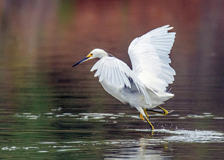 Snowy Egret 2765-071219 by Tam Ryan