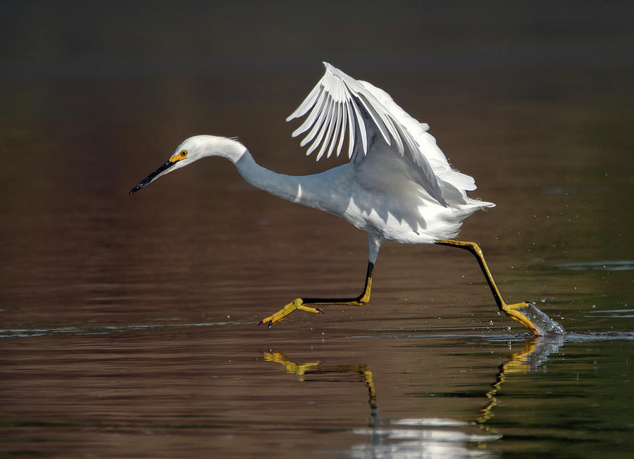 Snowy Egret 6216-091619 by Tam Ryan
