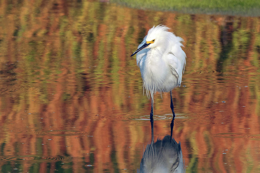 Snowy Egret 6249-061219 by Tam Ryan