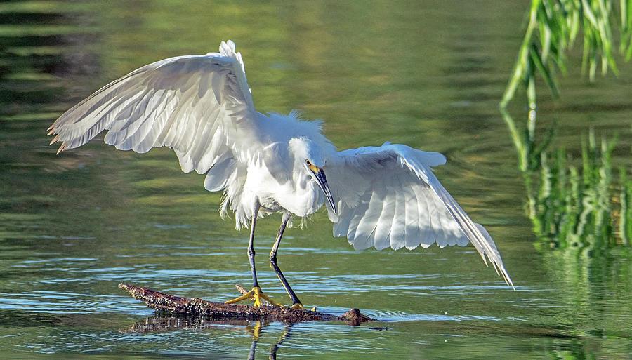 Snowy Egret 6575-081619 by Tam Ryan