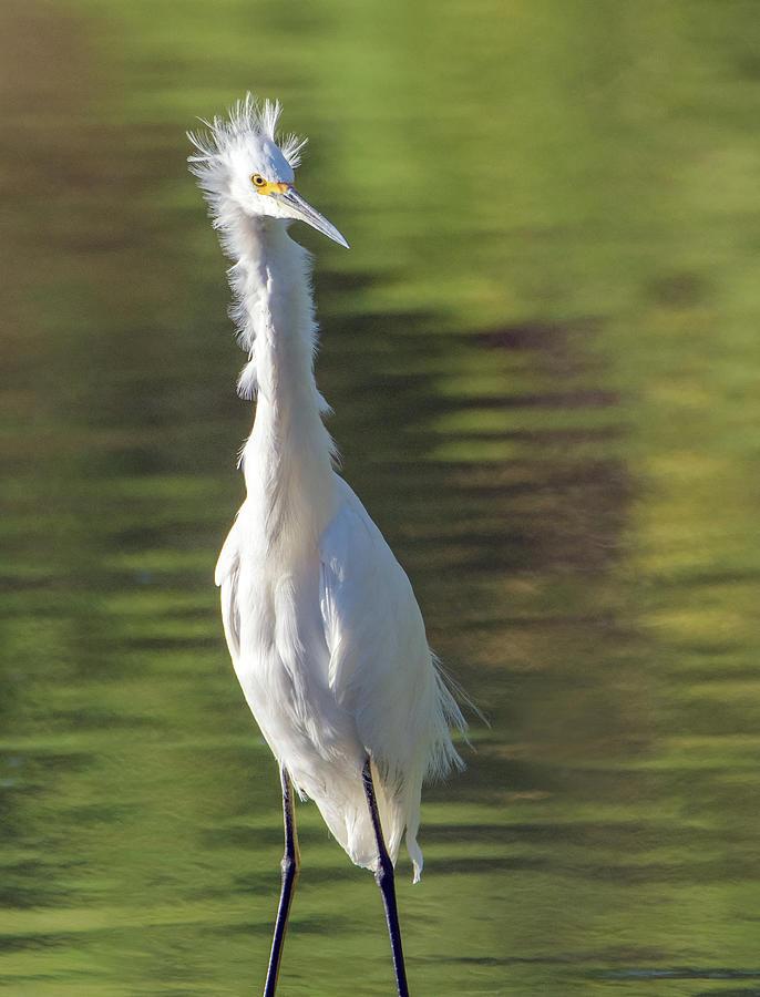 Snowy Egret 6604-081619 by Tam Ryan