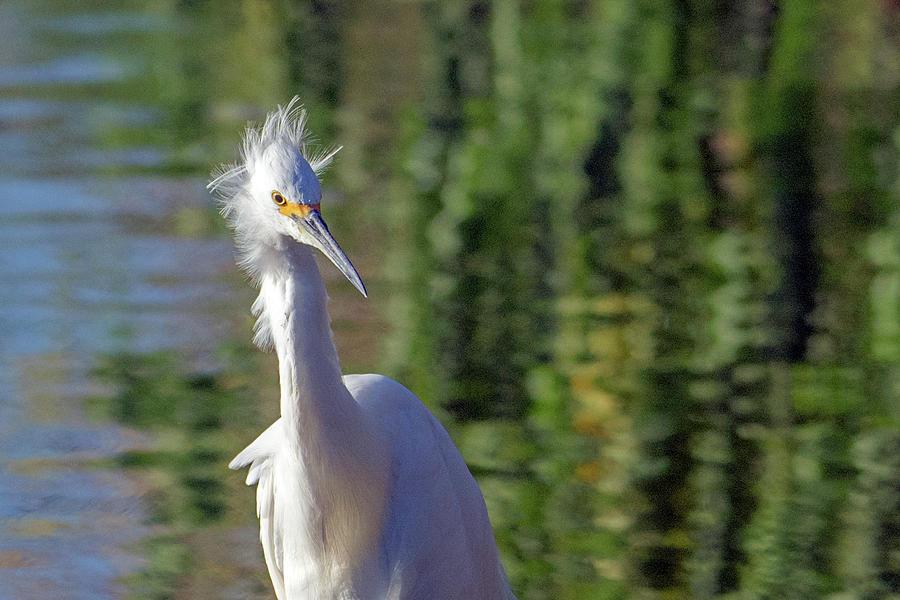 Snowy Egret 6616-081619 by Tam Ryan