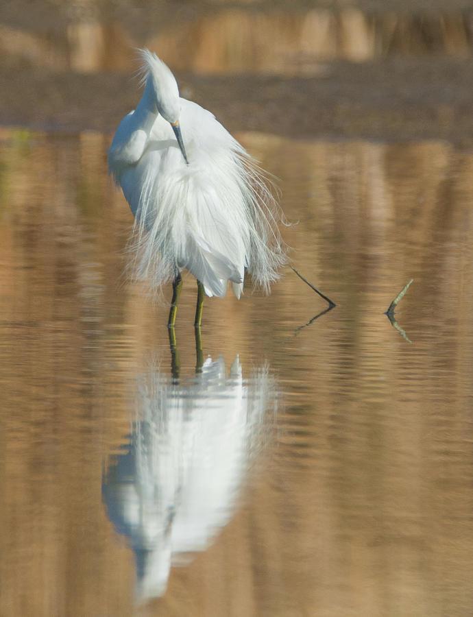 Snowy Egret 6912-081919 by Tam Ryan