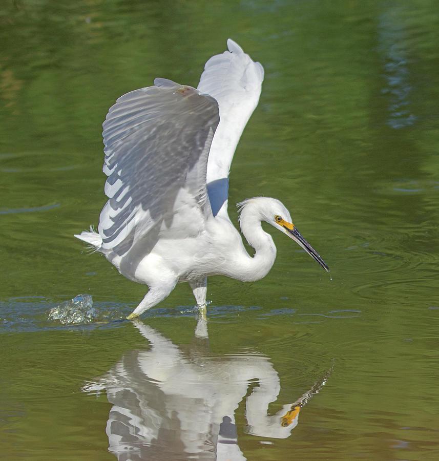 Snowy Egret 7006-081919 by Tam Ryan