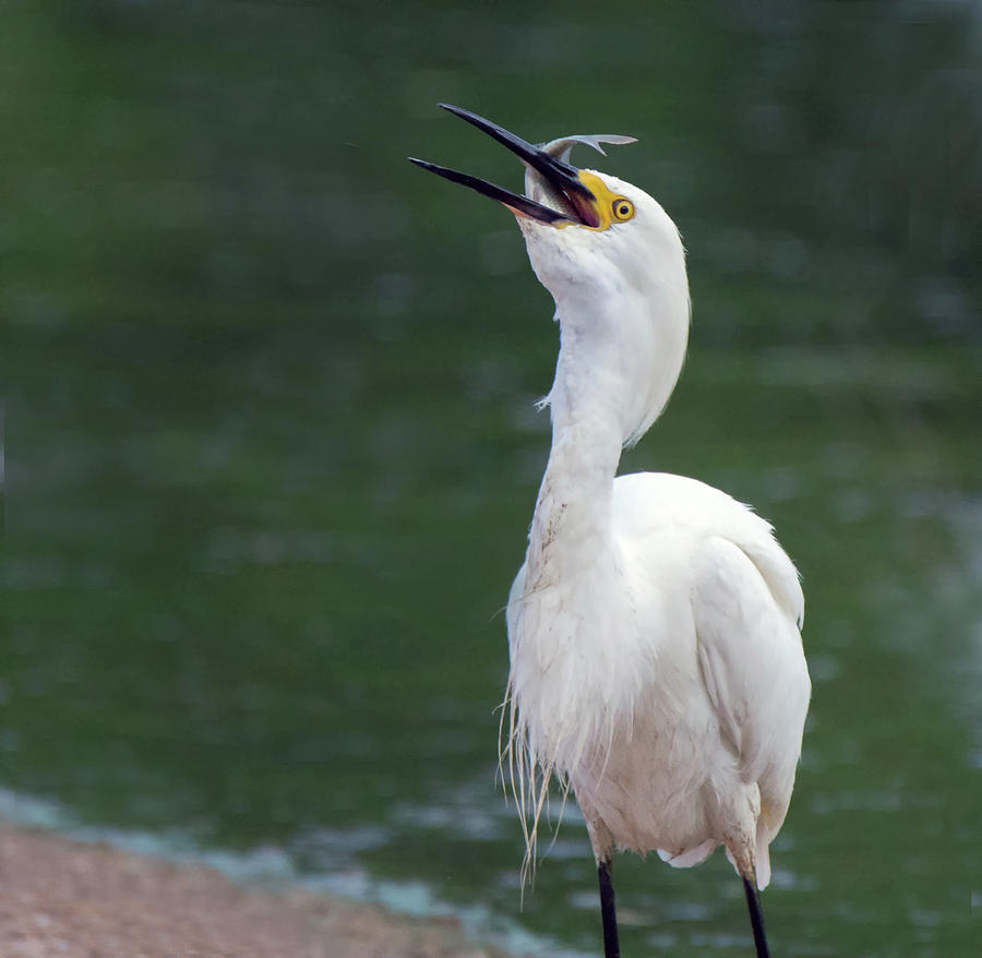 Snowy Egret 7791-061719 by Tam Ryan