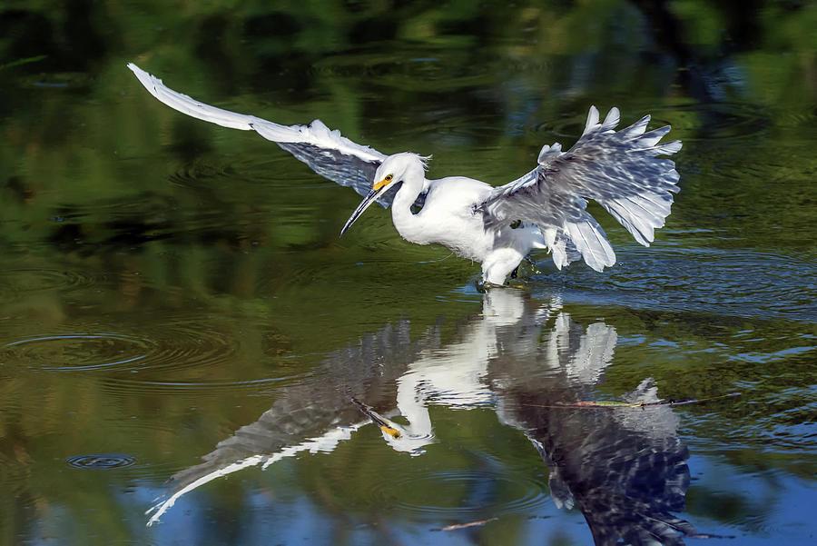 Snowy Egret 8422-061819 by Tam Ryan