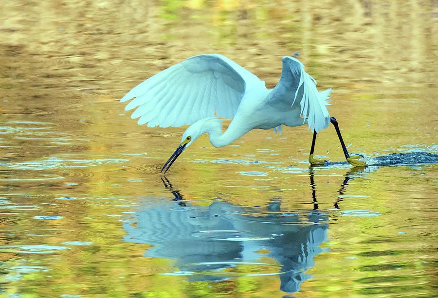 Snowy Egret 8725-061919 by Tam Ryan