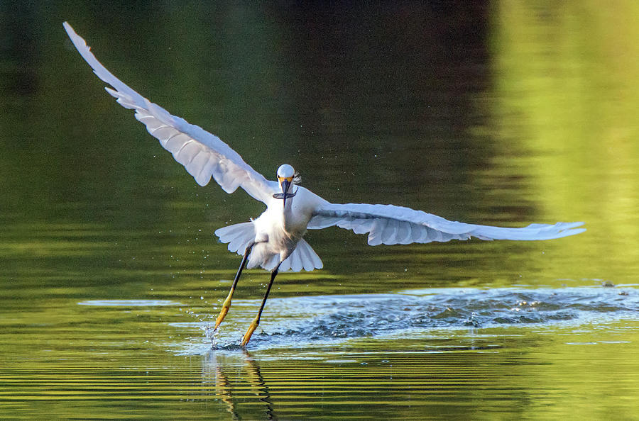 Snowy Egret and Fish 6415-081619 by Tam Ryan