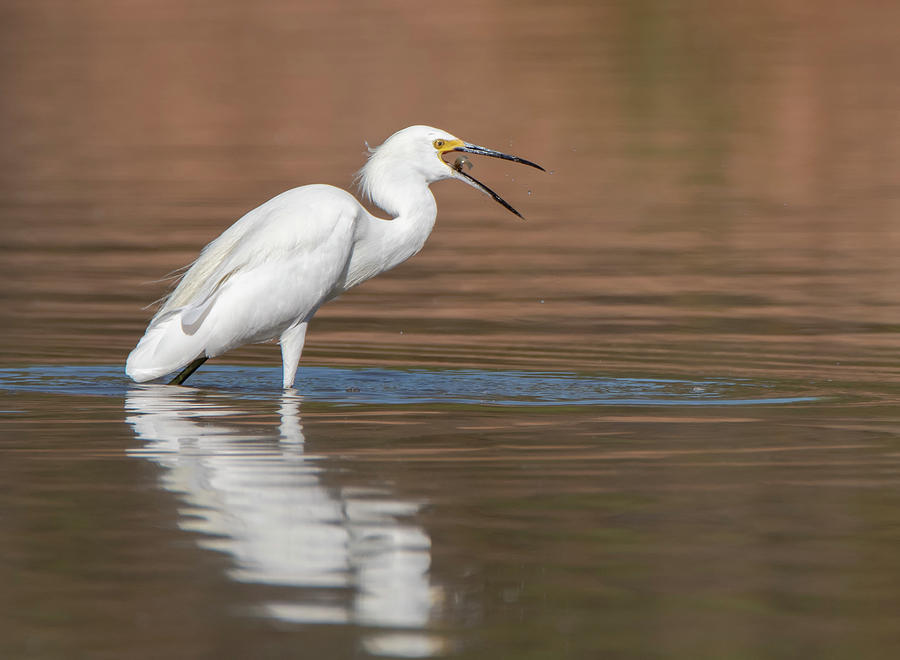 Snowy Egret and Fish 6615-092019 by Tam Ryan