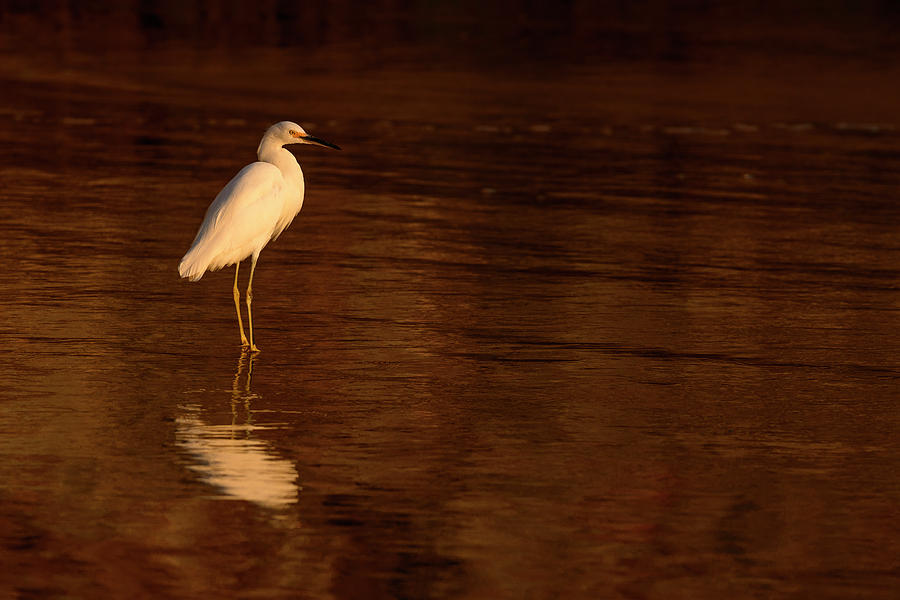 Snowy Egret at Sunset by James Covello