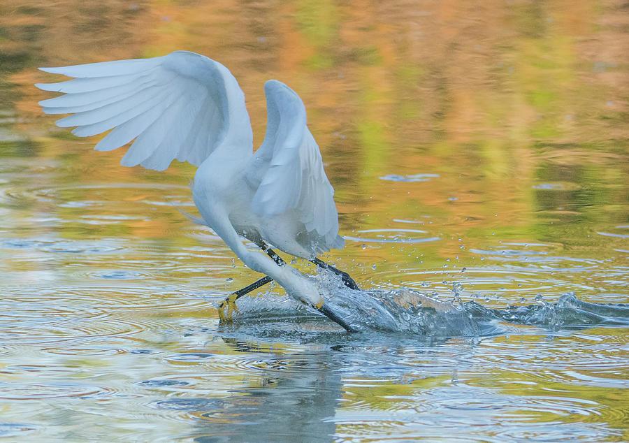 Snowy Egret Fishing 8603-062419 by Tam Ryan