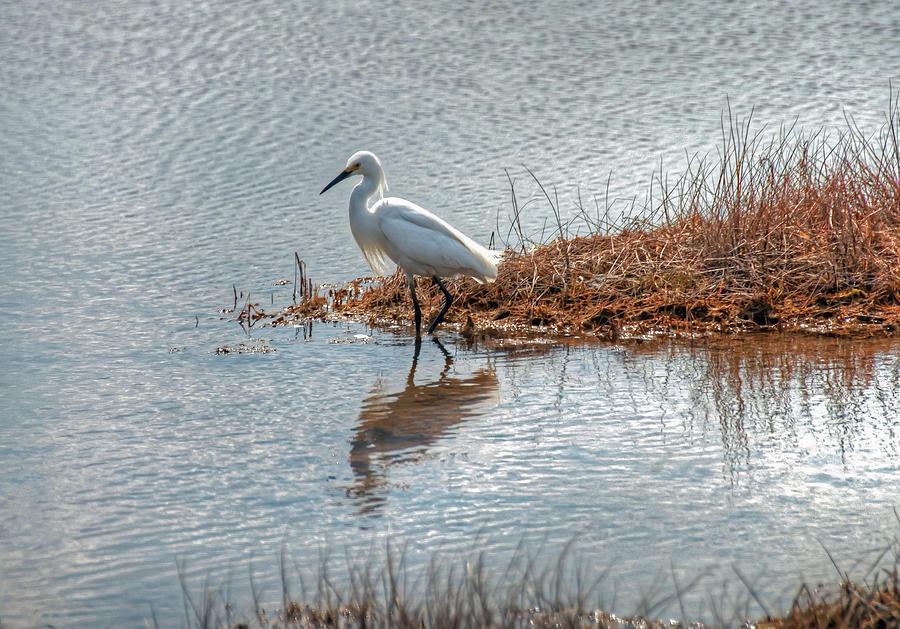 Snowy Egret Hunting a Salt Marsh by Wayne Marshall Chase