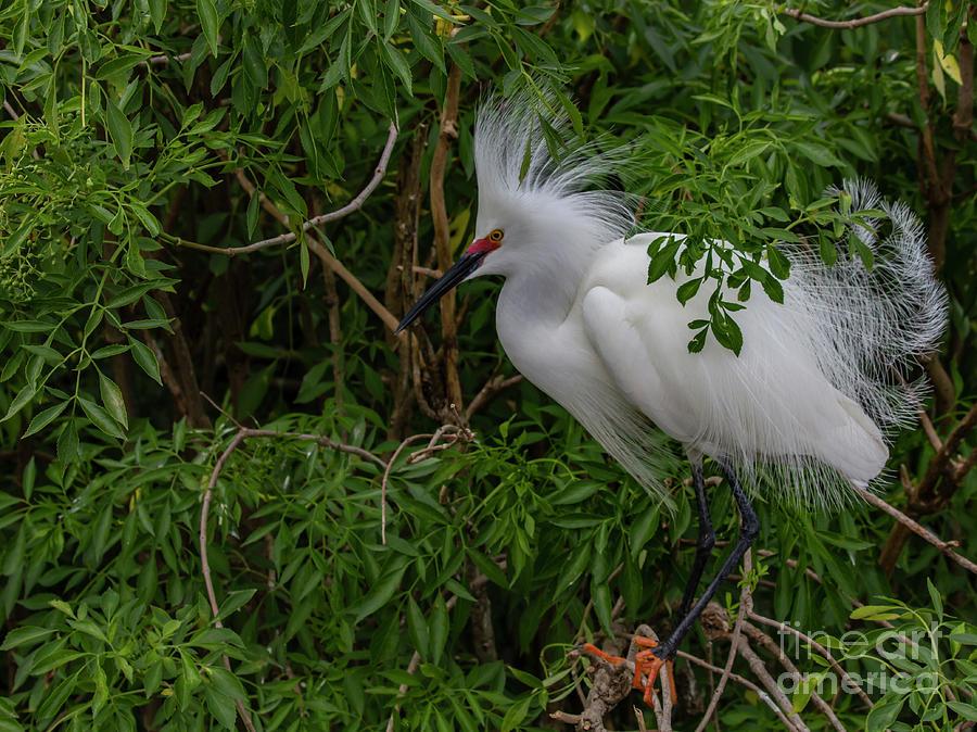 Snowy Egret in the Elderberries by Blair Howell