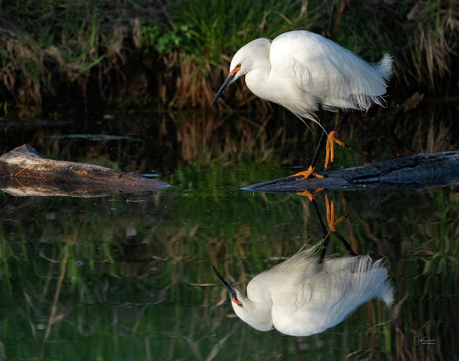 Snowy Egret at the Pond by Judi Dressler