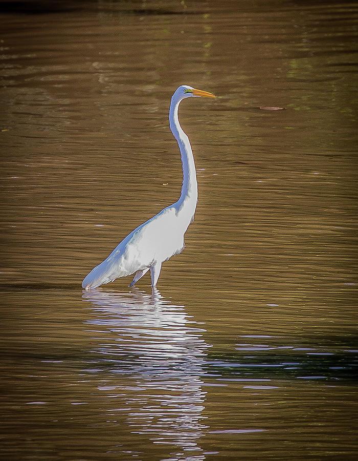 Snowy Egret by Lora J Wilson