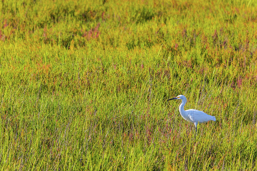 Snowy Egret Marsh Photograph