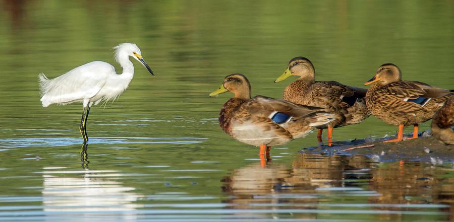 Snowy Egret Meets Mallards 6707-081819 by Tam Ryan
