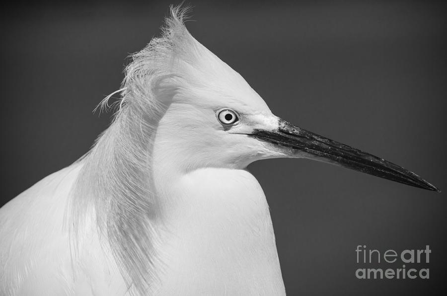 Black And White Photograph - Snowy Egret Portrait Black and White by Stefano Senise