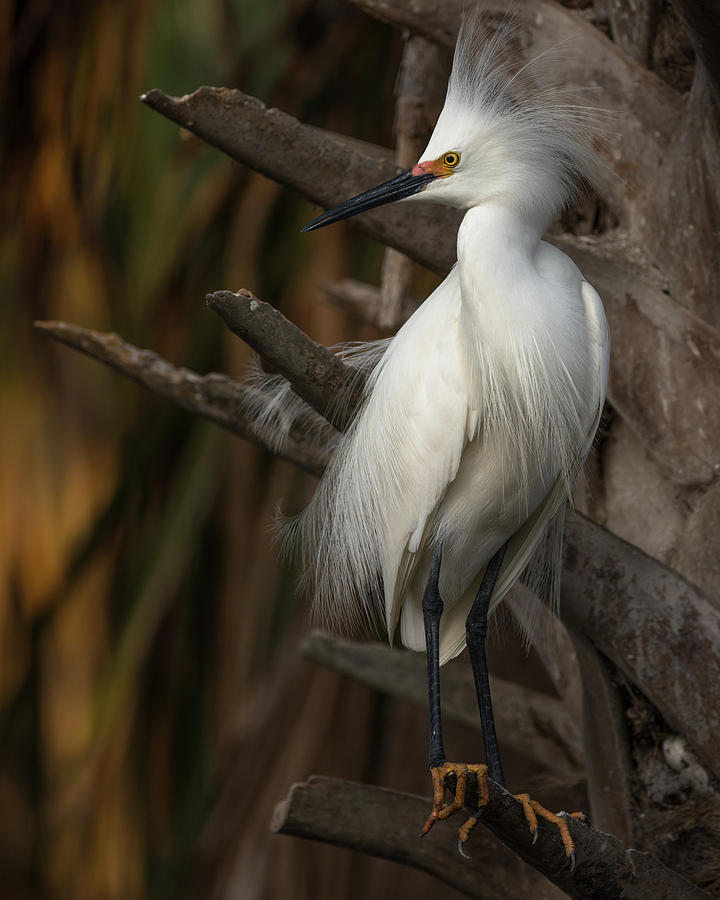 Snowy Egret by Stacey Sather