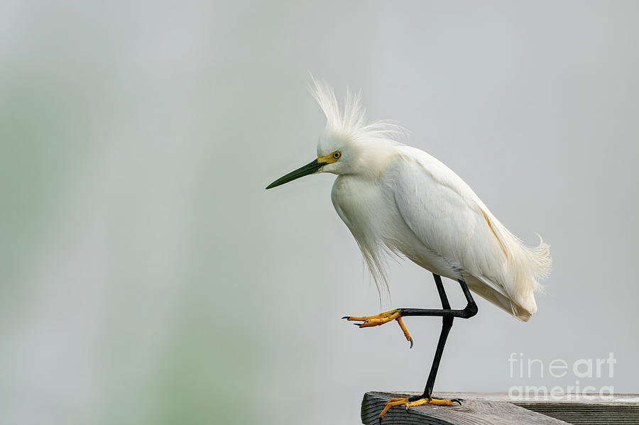 Snowy egret striking a pose by Sam Rino