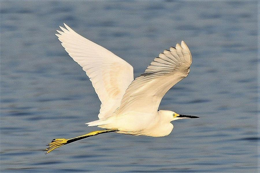 Snowy Egret WIngs by Kim Bemis