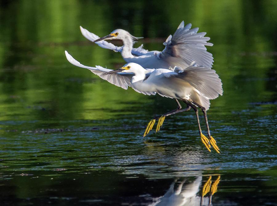 Snowy Egrets 8233-061819 by Tam Ryan