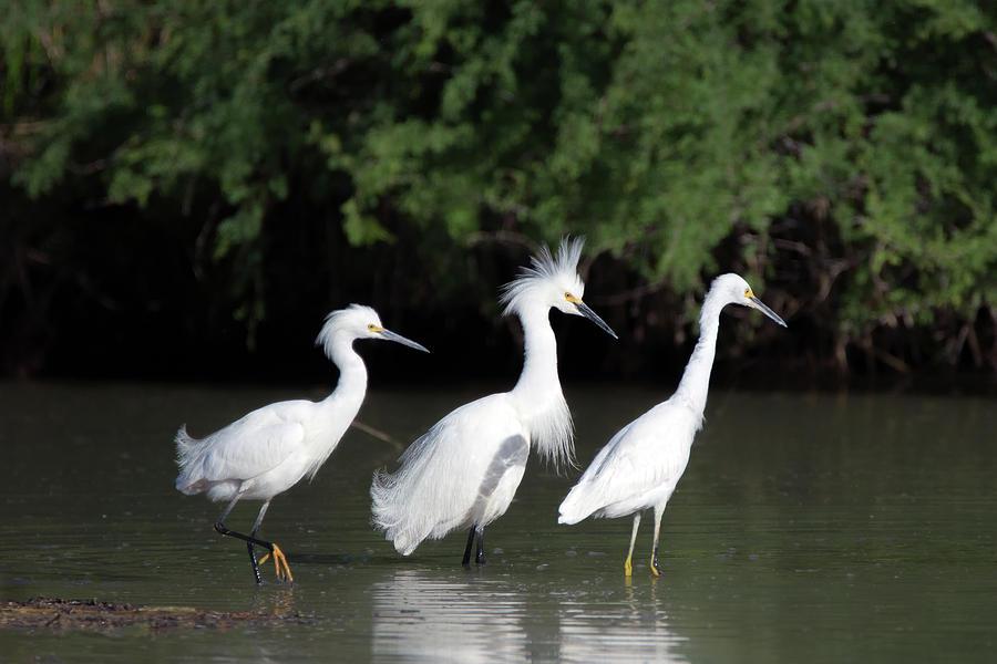 Snowy Egrets 8960-050219 by Tam Ryan