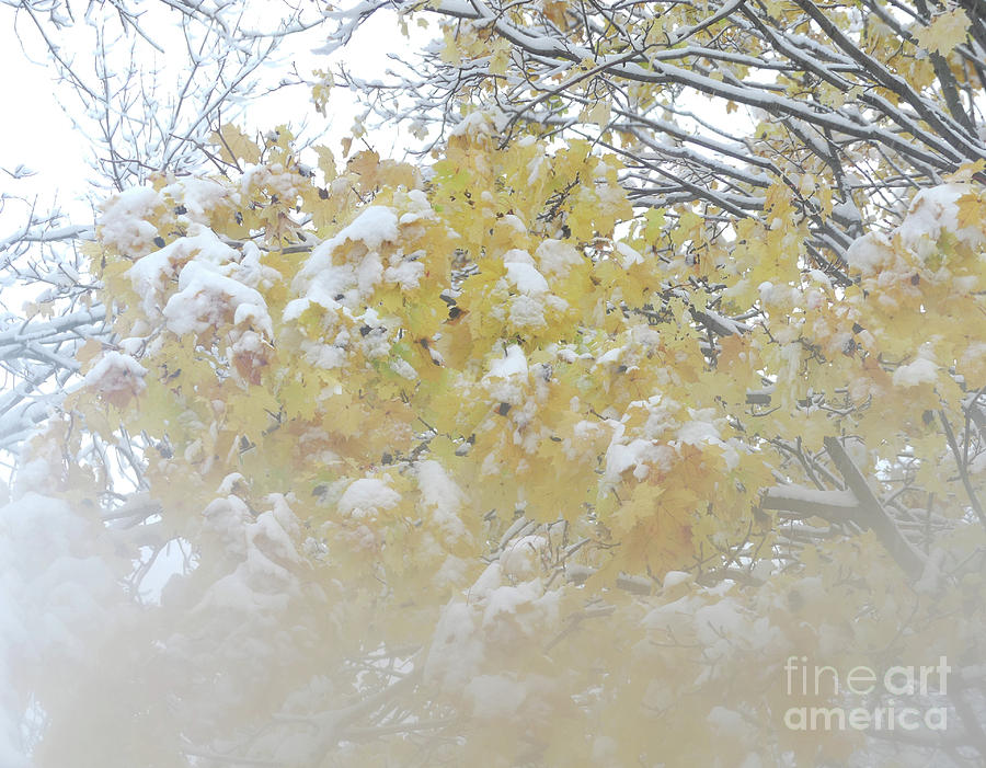 Snowy Maple by PJ Boylan