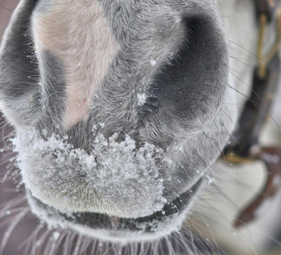 Horse Photograph - Snowy Muzzle  by JAMART Photography