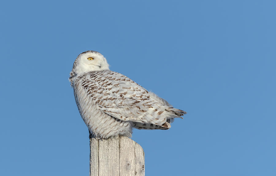 Snowy Owl 2019-2 by Thomas Young